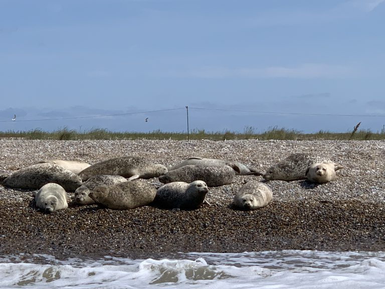 Seals at Blakeney Point